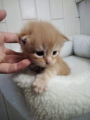 maine coon katzenbabys kitten Kater