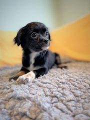 Bezaubernde Chihuahua-Malteser Mix Welpen