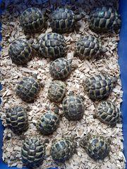 Griechische Landschildkröten 2018