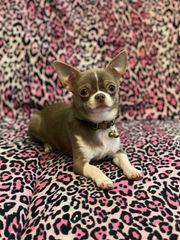Chihuahua Mini Deckrüde Lilac-White Grüne