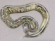 Python regius Pastel Cinnamon Fire