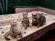 Kitten Gr Eu Champion BKH