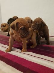 Bordeaux Dogge - Dogo Canario Mix