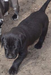 Labrador Doggenmixwelpen