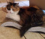 Wunderschöne Sibirische Katze sucht neues