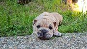 Old English Bulldoggen Welpen OEB -