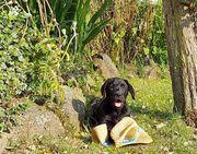 Wunderschöne reinrassige Labrador Welpen lackschwarz