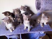 BKH Katzen zu verkaufen