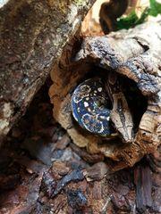 Boa Constrictor Sonora het Leopard