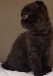 Scottish fold Kitten Kätzchen ab