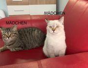 3 BKH Kitten Kätzchen