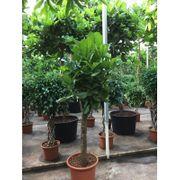 Ficus Lyrata - Geigen-anlage art87533