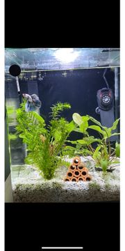 Nano Dennerle Cube mit Kampffisch
