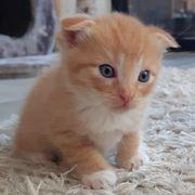 Scottish Fold BKH Mix Kitten