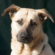Püpa 6 Jahre - Schäferhund-Mix - Tierhilfe