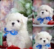 Süße kleine schneeweiße reinrassige Mini
