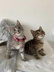 BKH MIX Kätzchen zusammen