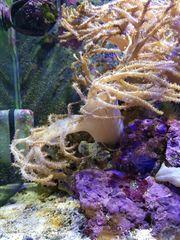 Meerwasser Ableger Sinularia