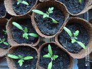 Tomatenpflanzen geeinzelt im Topf