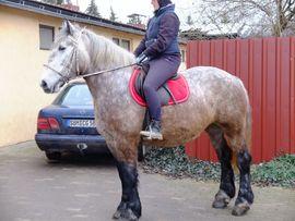 Pferde - Polnische Kaltblutstute Sonia