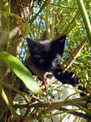 Siam-BKH Mix Kitten