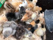 Hühner Küken bis junghennen brahma