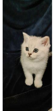 BKH Kitten mit blauen Augen