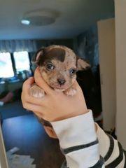 Mini Chihuahua Weibchen Welpe