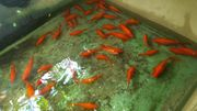 gesunde Goldfische 10-20cm groß Normale