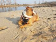 Old English Bulldog Deckrüde gesucht