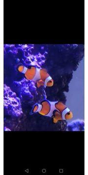 2 Anemonenfische ca 3-4 cm