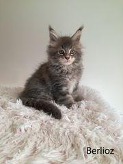 Zuckersüße Maine Coon Kitten suchen