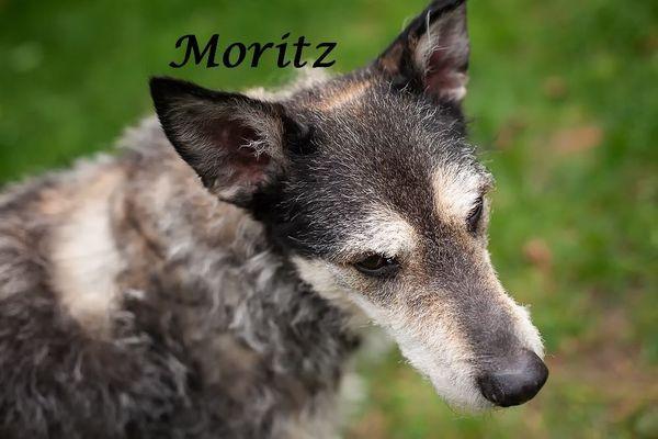 Sanfter Podenco-Mischling Moritz - Auf Pflegestelle