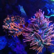 Wunderschöne Kupferanemone