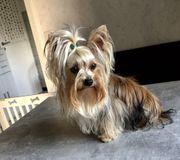 Yorkshire Terrier Gold-Dust Deckrüde
