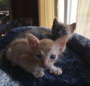 2 Seltenen Sphinx- Katzenbabys männlich