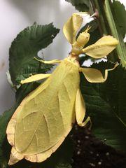 Wandelnde Blätter Tropische Heuschrecken Stabschrecken