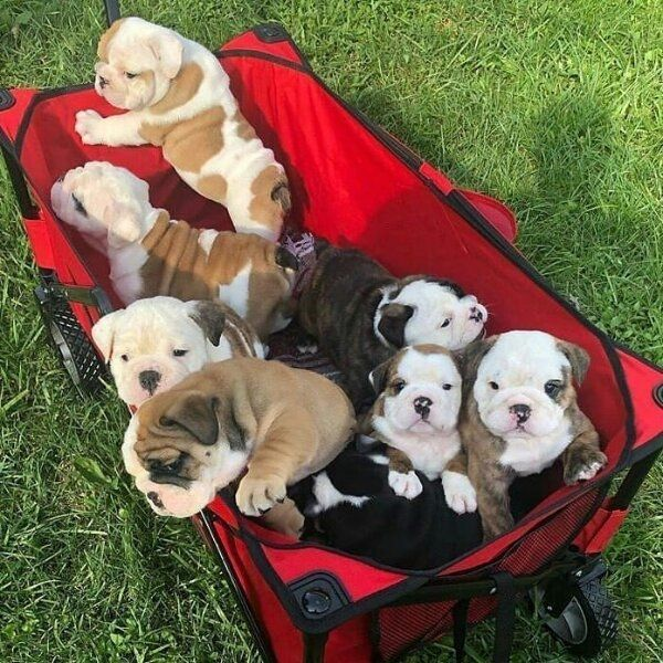 Englische Bulldogge Welpen Registriert Whatsapp 4915 2114479 07 In Ergolding Hunde Kaufen Und Verkaufen Uber Private Kleinanzeigen