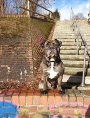 Old English Bulldogge