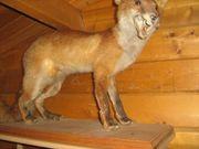 biete Tierpräparate Sammlung aus Jägernachlass
