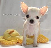 Chihuahua Welpen mit Ahnentafel aus