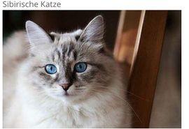 Ich suche eine Sibirische Babykatze