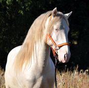 Spanisches Traumpferd mit blauen Augen