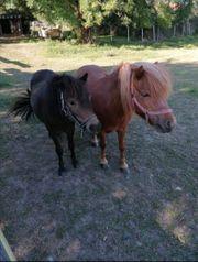 Shetland Ponys Mutter und Tochter