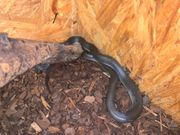 Lamprophis spp west Afrika black