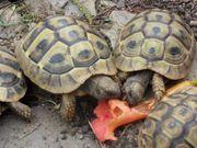 Griechische Landschildkröten einjährig THB NZ