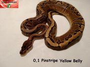 0 1 Pinstripe YB