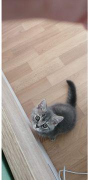 Kitten BKH Scottish