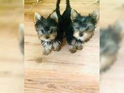 Mini Yorkshire Terrier Welpen mit