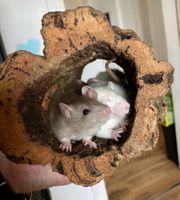 Ratten Babys 5 Wochen alt